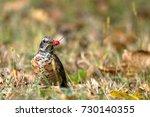 juvenile american robin eats a... | Shutterstock . vector #730140355