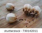 caraway seed heads | Shutterstock . vector #730142011