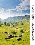 Herd Of Cows From Italian Alps...