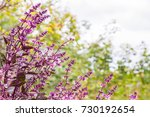 purple basilic in the garden....   Shutterstock . vector #730192654