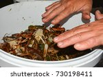 live crabs in a large bucket. | Shutterstock . vector #730198411