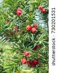 taxus baccata european yew is... | Shutterstock . vector #730201531
