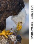 Alaskan Bald Eagle  Haliaeetus...