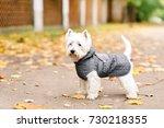 west highland white terrier...   Shutterstock . vector #730218355