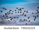 Flock Of Black Tailed Godwit...