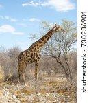 a giraffe feeding on a tree in... | Shutterstock . vector #730236901