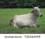 cow | Shutterstock . vector #730264549
