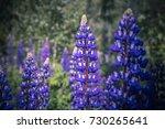 blooming lupine flowers ... | Shutterstock . vector #730265641