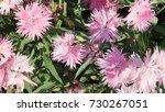 Small photo of Dianthus Supra Purple