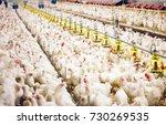 indoors chicken farm  chicken...   Shutterstock . vector #730269535
