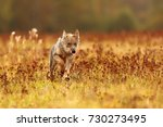 wolf in the middle of the... | Shutterstock . vector #730273495