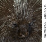 angry porcupine | Shutterstock . vector #730327741