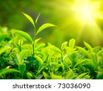 Stock photo green tea bud and leaves tea plantations kerala india 73036090