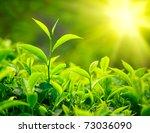 Stock photo green tea bud and leaves tea plantations kerala india 73036090