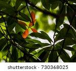 sweet scented osmanthus  | Shutterstock . vector #730368025