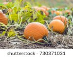 vibrant orange pumpkin growing... | Shutterstock . vector #730371031