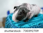 skinny breed of guinea pig on... | Shutterstock . vector #730392709