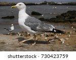 walking sea gull close up in... | Shutterstock . vector #730423759