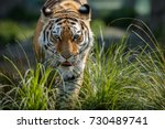 siberian tiger female in the... | Shutterstock . vector #730489741