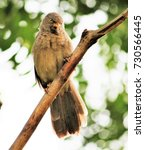 Small photo of Forest Babbler perched on a branch in a garden
