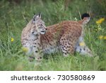 a eurasian lynx on a meadow in... | Shutterstock . vector #730580869