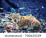 hungry lynx eating piece of... | Shutterstock . vector #730625239