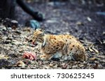 hungry lynx eating piece of... | Shutterstock . vector #730625245