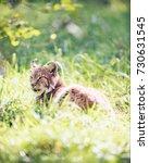 eurasian lynx  lynx lynx  lying ...   Shutterstock . vector #730631545