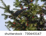 european starling  sturnus... | Shutterstock . vector #730643167