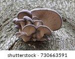 oyster mushroom  pleurotus... | Shutterstock . vector #730663591