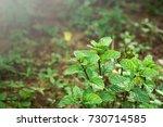 peppermint | Shutterstock . vector #730714585