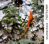 Red Eft Crawling Across A Birc...