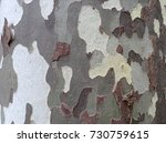 sycamore tree bark close up | Shutterstock . vector #730759615