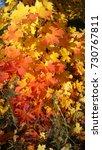 Small photo of Autumn maple tree