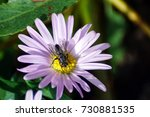 bee on a flower. insects ... | Shutterstock . vector #730881535