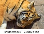sleeping baby tiger | Shutterstock . vector #730895455