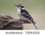 Male Downy Woodpecker  Picoide...