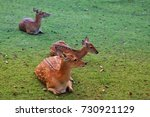 The Chital  Cheetal Also Known...