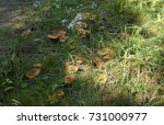 Autumn Mushrooms On The Lawn...