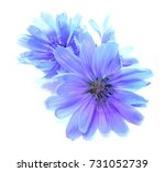 Stock photo drawing blue chicory flower isolated on white 731052739