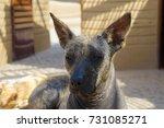 peruvian hairless dog | Shutterstock . vector #731085271