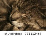 Sleeping Tabby Cat Sepia
