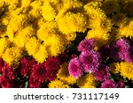 Small photo of Colorful Mum Flower Background. Vibrant bouquet of yellow, burgundy and violet mums bathed in sunlight.