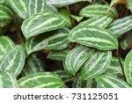 calathea picturata in the... | Shutterstock . vector #731125051