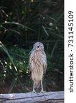 juvenile black crowned night... | Shutterstock . vector #731145109