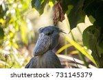 african shoebill stork... | Shutterstock . vector #731145379