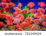 red parrot fish. | Shutterstock . vector #731145424