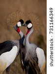 Small photo of Two African crowned cranes engaged in a tender and affectionate courtship ritual