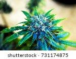 marijuana plant  | Shutterstock . vector #731174875