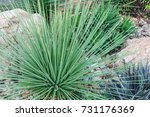 agave cactus in the garden. | Shutterstock . vector #731176369